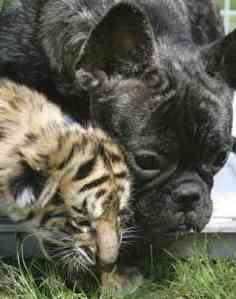 French Bulldog Fostering Baby Bengal