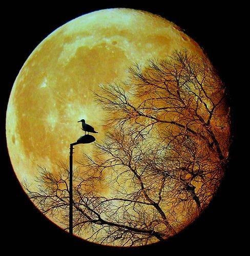 Goosey Moon